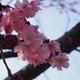 早咲きの「桜」咲いてました