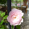「フィオーラ」の二番花