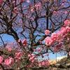 桜 と 幻の大型 iPad