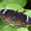 とても優しい蝶