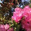 【高尾】高尾山 新緑とシャクナゲ、春の高尾のススメ