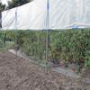 ミニトマト畝南側の除草