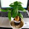観葉植物を100均で買う