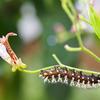 ルリタテハの蛹化と羽化
