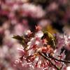 また河津桜とメジロ 2016 3月 A