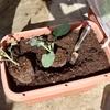 ブロッコリーの定植とミニ人参の土寄せ