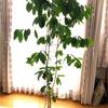 コーヒーの木の植え替えをしました