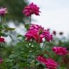秋の薔薇【その3】