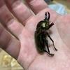 ニジイロクワガタは本当に丈夫な虫です。