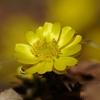 植物と友達になろう! VOL.01 「福寿草」