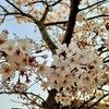 千葉県君津市の桜。「作ってあげたい小江戸ごはん2」にも桜が出てきます
