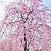 色んな品種の桜と家族でお花見