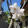 庭にある桜