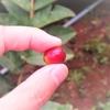 タイ生まれのコーヒー「ドイ・チャン」「ドイ・トゥン」の農園見学に行ってきた
