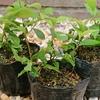 ドングリは、春でなく秋に蒔く