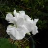 2011/11/14 白のゼラニウム