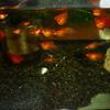 プラティとゴールデンハニードワーフグラミーの稚魚