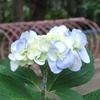 季節は紫陽花へ