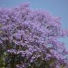 南アフリカの春の風物詩 ~ジャカランダ花紀行~