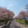 七谷川 和らぎの道の桜