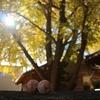 黄金色の世界へようこそ!稲沢市のそぶえイチョウ黄葉祭り2020レポ