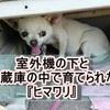 【泣!】室外機の下と冷蔵庫の中で育てられたチワワ『ヒマワリ』