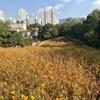 【蚕室】コスモス畑とピンクミューリーを見に。秋のオリンピック公園散策/올림픽공원