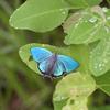 6/29/2018・高原の宝石、ハヤシミドリシジミのブルーが美しすぎました