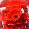 """赤い""""Gerbera(ガーベラ)""""の花言葉"""