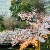 【代々木公園】お花見もキャンプグッズで快適に♪