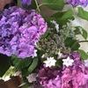 庭の紫陽花が色々と咲いてきました
