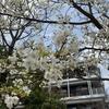 桜満開なんですが・・・お花見は自粛!