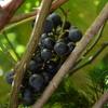 ヤマブドウが沢山なっている。実りの秋だね。