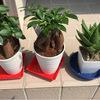観葉植物ガジュマル・多肉植物アロエ(人食い草)植え替え