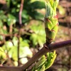 カジイチゴの新芽
