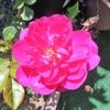 薔薇の「ヴィオレッタ(Violetta)」が、一番早く咲いたよ!