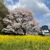 遠い桜 2012/4/10