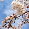 桜のお福分け(^-^)