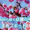 2月下旬から咲く京都の河津桜(カワヅザクラ)おすすめスポット10選