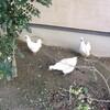 ぽかぽかの朝の鶏と、玄関の桃の花