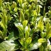 早生品種と晩生品種の生長の差について