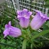 ミモザ・ガーデンの日記ー花たち
