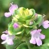タイム3種類の花