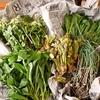 平成の終わり1日前、親採りの山菜をたっぷりと楽しむ