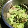 自家菜園グリーンピースとベビーリーフをサラダで