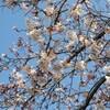 桜を愛でながらウォーキング