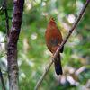 画眉鳥(ガビチョウ)