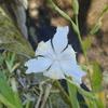 アヤメ科の花 シャガの花にある不思議とは
