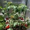 ポット袋栽培「アイコ」と水気耕栽培「ネネ」の共演が始まった。