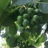 ナンキンハゼの種子